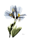 Soft Geranium Portrait Giclée-Premiumdruck von Albert Koetsier