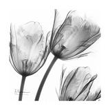 Gray Tulips Premium Giclee Print by Albert Koetsier