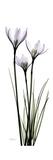White Rain Lily Giclée-Premiumdruck von Albert Koetsier