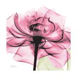 Rose Pink Bedruckte aufgespannte Leinwand von Albert Koetsier
