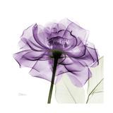 Purple Rose Opspændt lærredstryk af Albert Koetsier