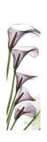 Calla Lily Blooms Giclée-Premiumdruck von Albert Koetsier