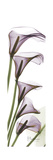 Calla Lily Blooms Stampa giclée premium di Albert Koetsier