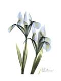 Blue Iris Portrait Giclée-Premiumdruck von Albert Koetsier