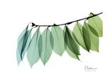 Camelia Leaf Green_Blue Premium Giclee Print by Albert Koetsier