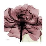 Chianti Rose 2 Premium Giclee-trykk av Albert Koetsier