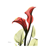 New Red Calla Lily Art by Albert Koetsier