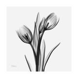 Tulip Greys 2 Print by Albert Koetsier