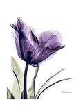 Purple Gentian Solo Stampa giclée premium di Albert Koetsier