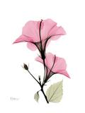 Pink Hibiscus Kunstdruck von Albert Koetsier