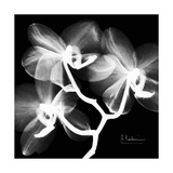 Xray Orchid Stampa giclée premium di Albert Koetsier