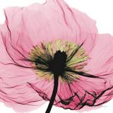 Poppy Pink Kunstdruck von Albert Koetsier