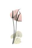 Subtle Anthurium Premium Giclee Print by Albert Koetsier