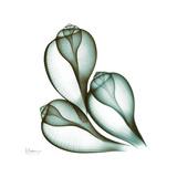 Fig Shells Up Premium Giclee-trykk av Albert Koetsier