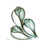 Fig Shells Up Premium Giclee Print by Albert Koetsier