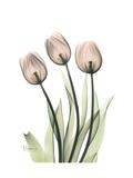 Soft Tulip Portrait 2 Reproduction giclée Premium par Albert Koetsier