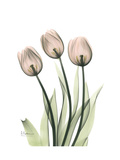Soft Tulip Portrait 2 Giclée-Premiumdruck von Albert Koetsier