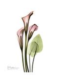 Pink Calla Lily Portrait プレミアムジクレープリント : アルバート・クーツィール