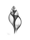 Tulip Shell Gray Reproduction giclée Premium par Albert Koetsier