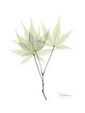 Japanese Maple Portrait Exklusivt gicléetryck av Albert Koetsier