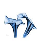 Calla Lilies Indigo Premium Giclee Print by Albert Koetsier