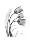 Tulip Gray Posters por Albert Koetsier