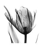 High Contrast Tulip Reproduction giclée Premium par Albert Koetsier
