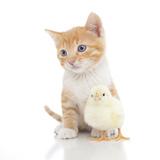 Kittens 024 Impressão fotográfica por Andrea Mascitti
