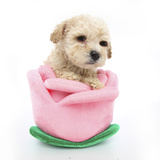 Puppies 061 Impressão fotográfica por Andrea Mascitti