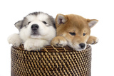 Puppies 003 Photographic Print by Andrea Mascitti