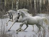 Unicorn 57 Fotografie-Druck von Bob Langrish