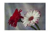 Red and White Daises Giclee-trykk av Bob Rouse