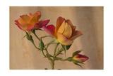 Peachy Rose 2 Giclee-trykk av Bob Rouse