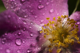 Cosmos Flower with Dew Drops, Rain Drops Photographic Print by Gordon Semmens