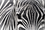 Zebra Photographic Print by Gordon Semmens