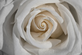 Rose Photographic Print by Gordon Semmens