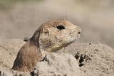 Prairie Dog Lámina fotográfica por Gordon Semmens