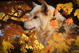 Autumn Leaves and Wolf Photographic Print by Gordon Semmens
