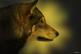 Wolf Profile HL1 Fotografie-Druck von Gordon Semmens