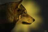 Wolf Profile HL1 Lámina fotográfica por Gordon Semmens