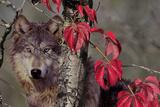 Autumn Wolf Photographic Print by Gordon Semmens
