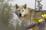 White Wolf Photographic Print by Gordon Semmens