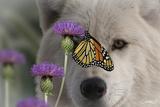Monarch and Wolf Fotografisk tryk af Gordon Semmens