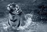 Tiger Splash Fotografie-Druck von Gordon Semmens