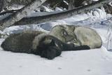 Zoo Wolf 02 Fotografie-Druck von Gordon Semmens