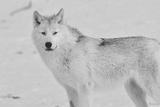 White Wolf 3 Fotografie-Druck von Gordon Semmens