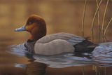 Redhead Duck Photographic Print by Jeffrey Hoff
