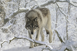 Zoo Wolf 03 Photographic Print by Gordon Semmens