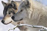 Zoo Wolf 05 Fotografie-Druck von Gordon Semmens