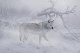 Zoo Wolf 04 Fotografie-Druck von Gordon Semmens